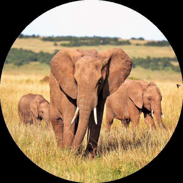 Tortenaufleger Elefant
